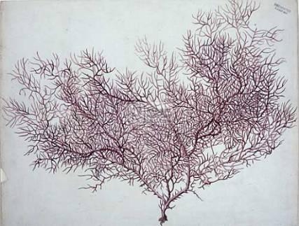 sea fan coral.jpg
