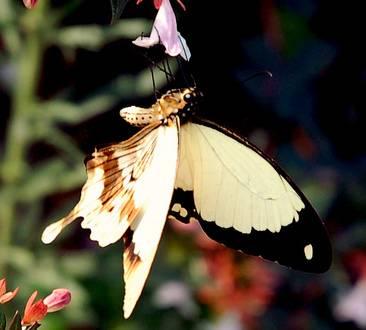 Papilio_dardanus.jpg