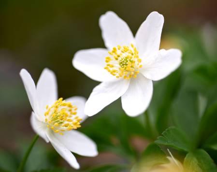 white-blossom-1500.jpg