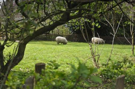 6. DSC_0227 sheep by Sue (Custom).JPG