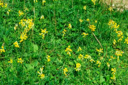 New Image cowslips (Custom).JPG