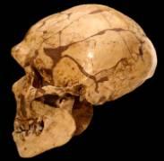 Homo-heidelbergensis-skull1500.jpg