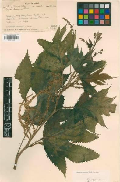 BM001124359 allo herb (Custom).JPG