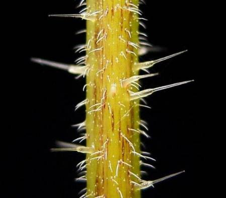 Trichomes on stem of U. dioica.jpg