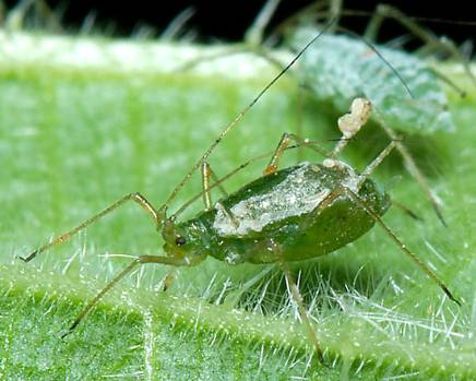 Microlophium carnosum Common_Nettle_Aphid (influential points website).jpg
