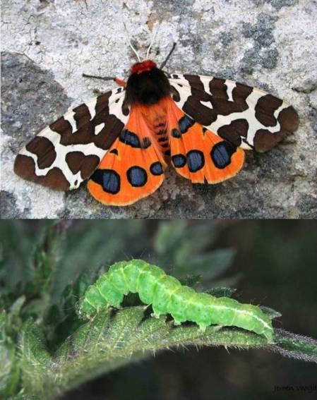Arctia caja Adult & Hypena proboscidalis larva.jpg