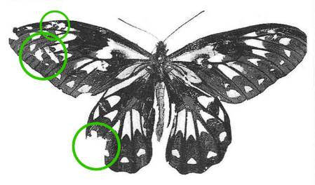 Ornithoptera-victoriae-700-with-circles.jpg