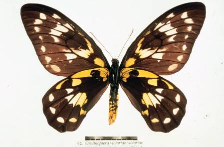 Ornithoptera-victoriae-700-colour.jpg