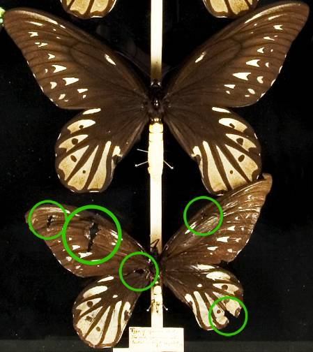 Ornithoptera alexandrae TYPE-edited-700-with-circles.jpg