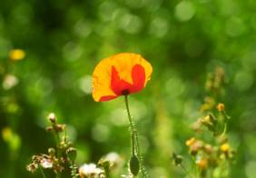 poppies-meadow-1500.jpg