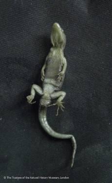 O'Shaughnessy's-gecko-2.jpg