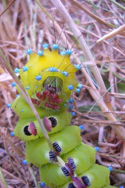 blog-Great-Peacock-Moth-Caterpillar-medium.jpg