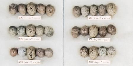 cuckoo-host-eggs.jpg