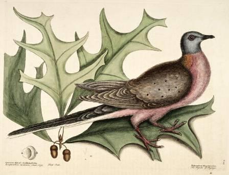 passenger-pigeon-mark-catesby-700.jpg