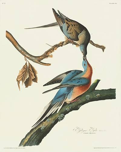 passenger-pigeon-audubon-400.jpg