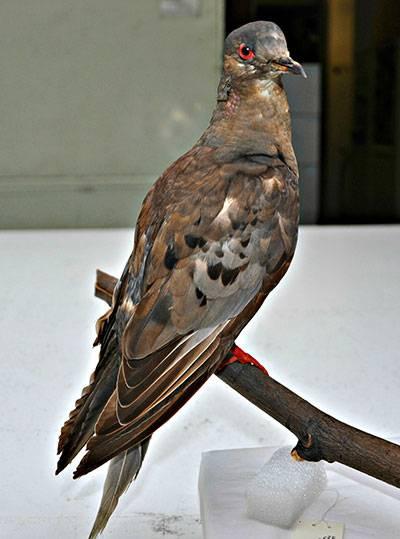 passenger-pigeon-martha-400.jpg