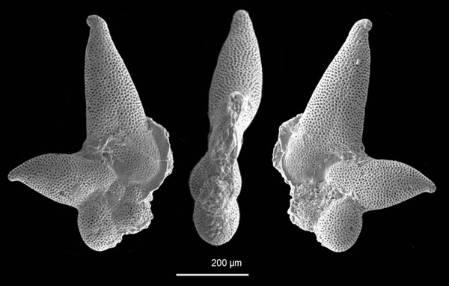 PF67214_Hantkenina_singanoae_holotype_emend_blog copy.jpg