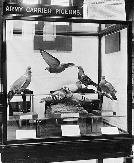carrier-pigeons-450.jpg