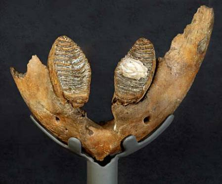 Mammoth teeth one.jpg