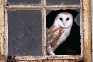 barn-owl-sm.jpg