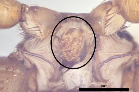 head of nycteribiidae.jpg
