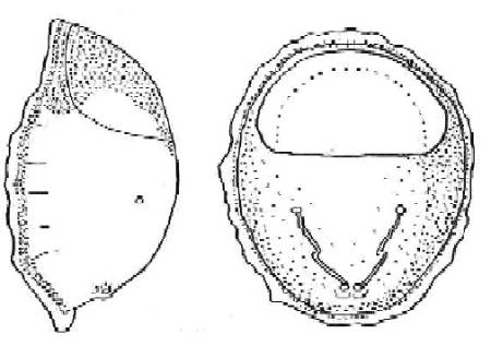 Nycteribiidae, Nycteribia kolenatii.jpg