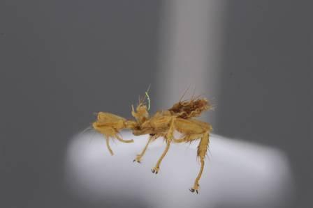 Nycteribiidae+lateral+view-700.jpg
