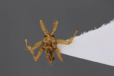 Nycteribiidae+dorsal+view-700.jpg