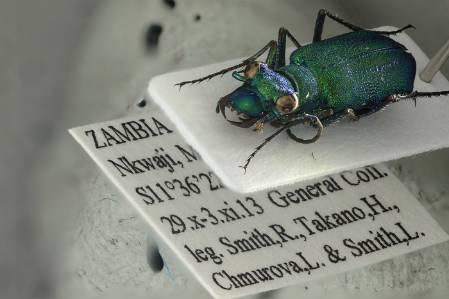 Ciccindellidae Zambia Beetle.jpg