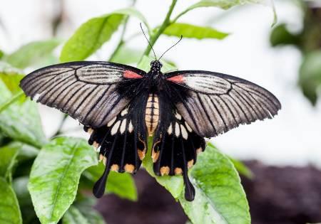 swallowtail-1500.jpg