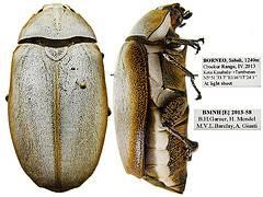 white beetle.jpg