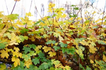 2014-12-02-7. Field maple in hedge WildlifeGarden_27112014-042.jpg