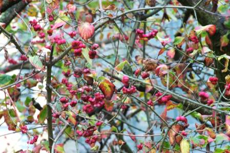 2014-12-02-11. Spindle WildlifeGarden_27112014-111.jpg