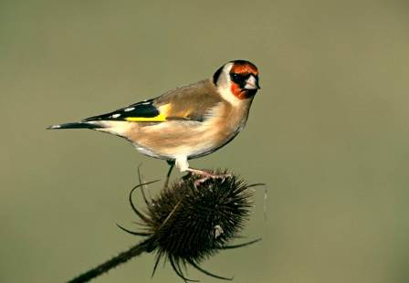 WLG-20141205-3-Goldfinch NaturalHistoryMuseum_PictureLibrary_043596_IA.jpg