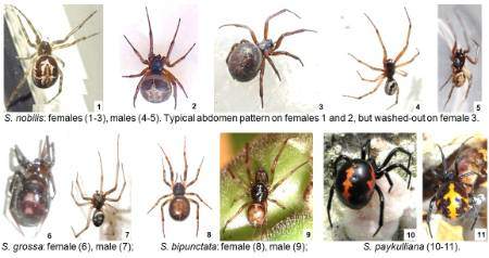 steatoda spp blog.jpg