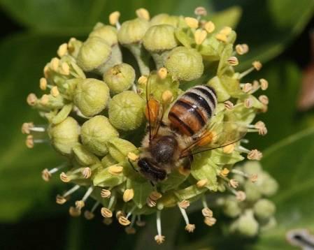 3. Bees on ivy flowersIMG_5672.jpg