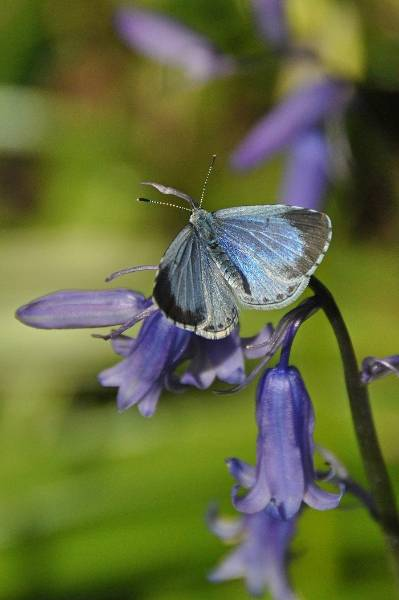 4. Holly Blue f on Bluebell_Tim Melling 1.jpg