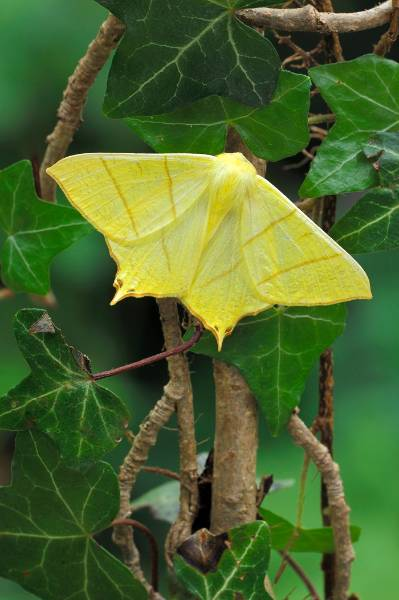 5. Swallow-tailed Moth_Robert Thompson.jpg