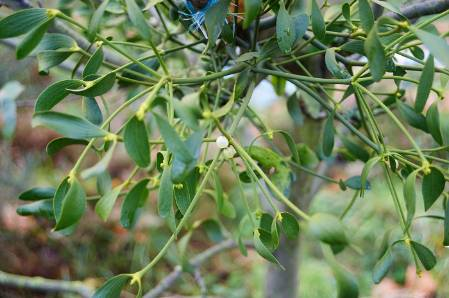 10. Mistletoe WildlifeGarden_27112014-034.jpg