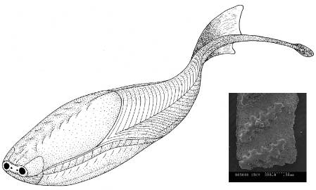 Sacabambaspis tail_scale_blog.jpg