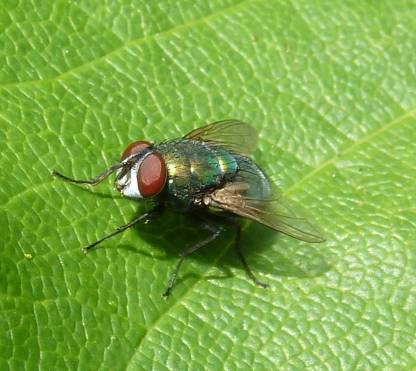 green-bottle fly.jpg