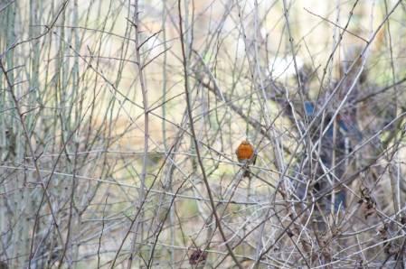 1. Robin  amongst hawthorn WLG_17Jan2015-030 -JJ-700px.jpg
