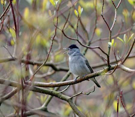 2. blackcap, David Tipling.jpg