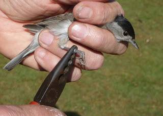 3. blackcap ringing in progress BTO.jpg