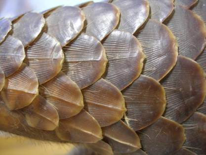 pangolin_scales.JPG