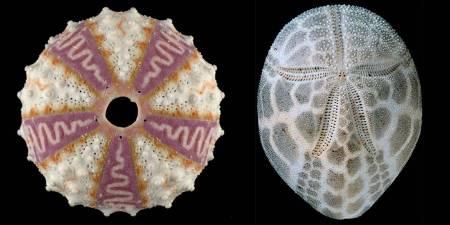 Echinoids-700.jpg