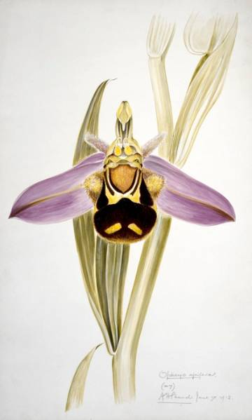 20150409 Bee orchid - ID Trainers for the Future - Mike Waller - NaturalHistoryMuseum_PictureLibrary_030814_IA.jpg