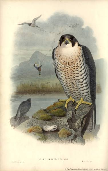 20150421 IDTrainers Peregrine AnthonyRoach NaturalHistoryMuseum_PictureLibrary_005517_IA.jpg