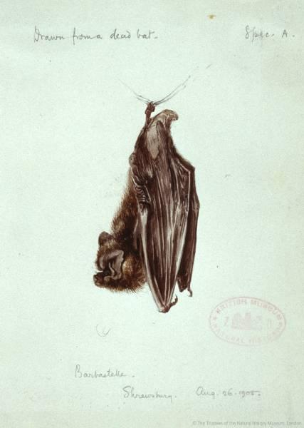 20150423 Barbastelle bat NaturalHistoryMuseum_PictureLibrary_036107_IA.jpg