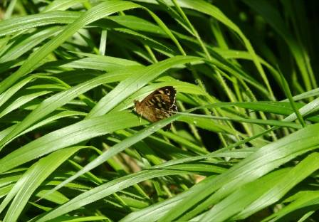 20150508-1. Speckled Wood Pararge aegeria on false brome.JPG